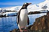 DesFoli Pinguin Arktis Eis Poster Kunstdruck Fotoposter