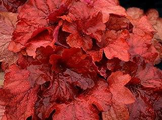 Bareroot Heuchera Fire Alarm Red Villosa Thick Coral Bell 2.5