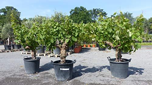 Vitis Vinifera alter Weinstock 130-160 cm, knorrige Weinrebe, Weintraube, Wein Trauben