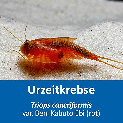 AQ4Aquaristik Triops cancriformis VAR. Beni Kabuto EBI (rot) - Urzeitkrebse - Triops Eier - mit Anleitung