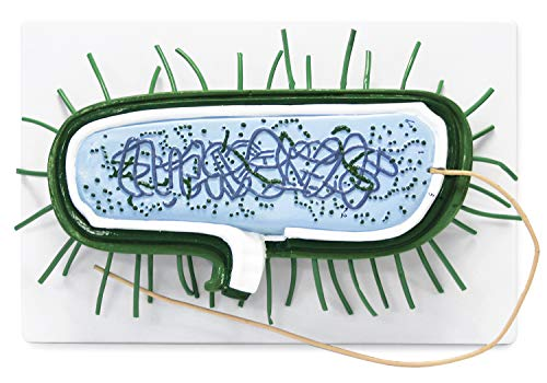Parco Scientific PB00131 Bacterial Model | 10000X Enlarged | Prokaryotic Bacteria Cell | Shows Cell Wall, Cytoplasmic Membrane, Cytoplasm, Nucleoid, Ribosomes, PILI and Flagella | Manual Included