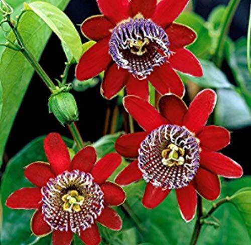 Gartensamen SummerRio- Passionsblume Rot Blumensamen Kletterpflanze Winterhart Immergrün Kletterpflanzen Blumen für Garten Balkon