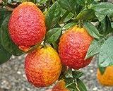 Vivai Gardenhome - Limone Rosso Cespuglio