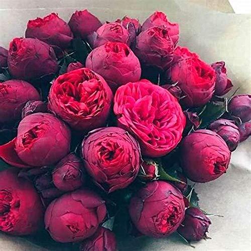 TENGGO Egrow 10 Unids/Pack Flor de Peonía China Semillas Plantas de Bonsai Perennial Paeonia Suffruticosa Plantas de Jardín - Vino Rojo