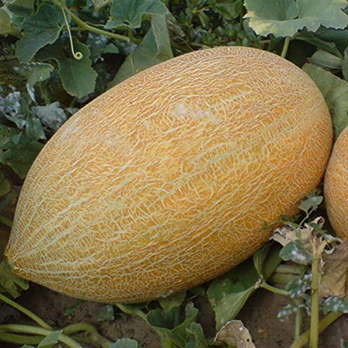 AGROBITS Graines rares Melon jaune miel Fortuna - Fortune Heirloom culture biologique