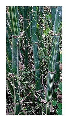 Bambusa tulda - bambou bois des Indiens - 10 graines