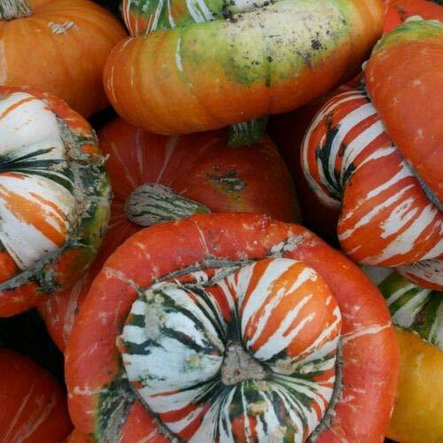 WINTER SQUASH (Cucurbita Maxima Turks Turban) 10 seeds