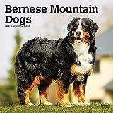 Bernese Mountain Dogs - Berner Sennenhunde 2020 - 16-Monatskalender mit freier DogDays-App: Original BrownTrout-Kalender [Mehrsprachig] [Kalender] (Wall-Kalender) - BrownTrout Publisher