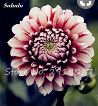 50 Pcs rares Graines Bonsai Dahlia (non Dahlia Bulbes) Mixte magnifique Fleurs chinois Balcon Plante en pot Maison et jardin 23