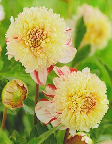 Anemonenblütige Dahlie Bon Odori Knolle Blumenzwiebeln (1 Dahlie (Wurzelstock))