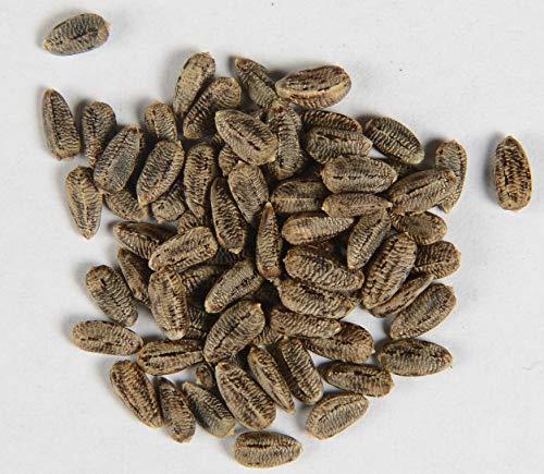 Eselsdistel Wolldistel Onopordum acanthium 160 Samen