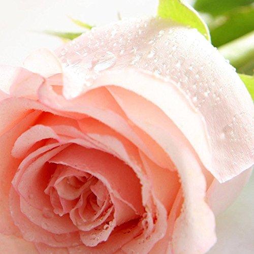 Pink Rose Graines de plantes rares Couleur Aroma bricolage jardin Promotions fou Rose Seeds 120 PCS