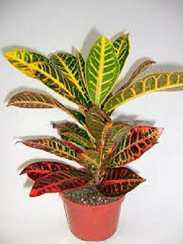 FERRY Bio-Saatgut Nicht nur Pflanzen: Croton EIN Innenhaus Kroton Petra 4