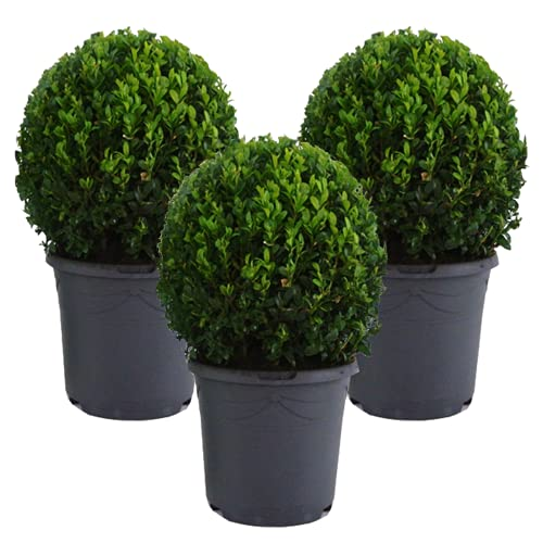 Mein schöner Garten Buchsbaum-Kugel – 3er-Set - Buxus sempervirens – echte Buchsbaum Pflanze – Heckenpflanze - Liefergröße inklusive Topf ca. 30-40 cm - mehrjährig – winterhart