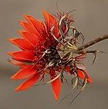 Indischer Korallenbaum -Erythrina variegata- 5 frische Samen