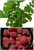 6 Heritage Raspberry Potted Plants - Ever Bearing Dark Red Berries by legendary-yes