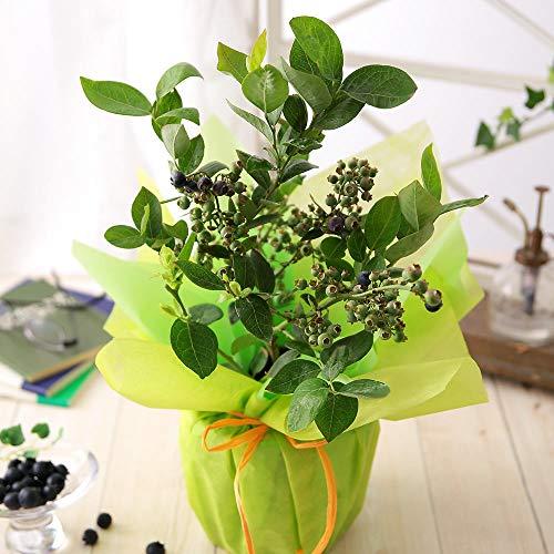 父の日 果樹鉢「ブルーベリー」 2021【花 生花 ギフト プレゼント 鉢植え 果物 フルーツ 収穫】