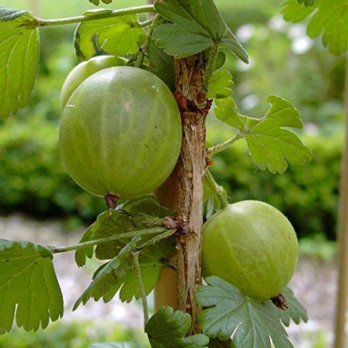 Invicta, hellgrüne Stachelbeere, Hochstamm, guter Geschmack, platzfest ca. 80-90 cm Stamm 3-4 L Topf
