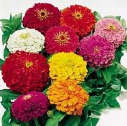 Zinnia Dahlia frais Flowered Mix 300 graines Zinnia elegans grandes fleurs coupées hautes