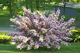 Variegated Weigela - Live Plant Shipped 1 to 2 Feet Tall by DAS Farms (No California)