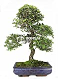 Bonsai - Olmo chino, 16 Años (Bonsai Sei - Zelkova Parvifolia)