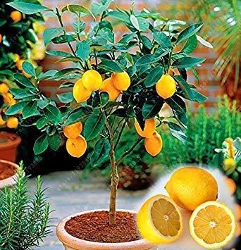 Vista 20 PCS/SAC Graines De Citron Meyer De Fruits Comestibles, Graines De Légumes De Fruits frais De Citron Bonsaï De Citron Exotique D