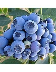 TOYHEART 100 Piezas De Semillas De Frutas De Primera Calidad, Semillas De Arándanos, Mini Semillas De Frutas Naturales Georgicas Nutritivas Para Jardín