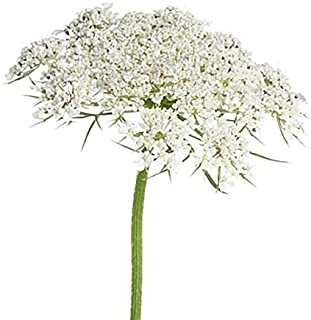 Marde Ross & Company 5000 Queen Anne's Lace - Ammi Majus - Bishop's Weed - Florist's Favorite!