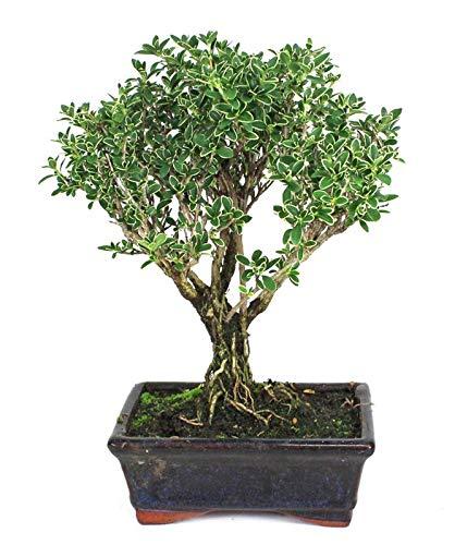 Bonsái de 8 Años Serissa Phoetida Planta Natural con Maceta Ornamental