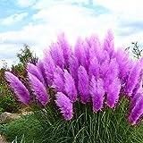 Adolenb Seeds House- 100pcs Graines de pampas - Plantes ornementales - Graines de pampas rares pour...