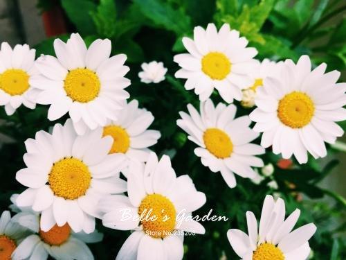 100 pcs/sac variétés de graines de marguerite, belle plante de fleurs Accueil Jardin Fleurs en pot semences intérieur Bonsai Graines 7
