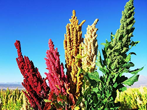 Bio-Saatgut nur Nicht Pflanzen: Quinoa (Chenopodium Quinoa) 450g der Samen für die Einsaat FÄHRE