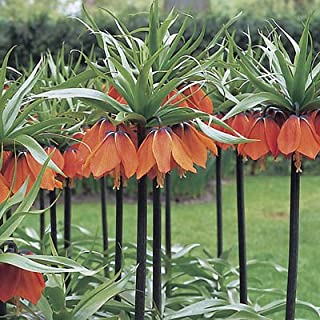 1 Fritillaria Imperialis Rubra Red Color Flower Bulb Perennial Spring Bloom