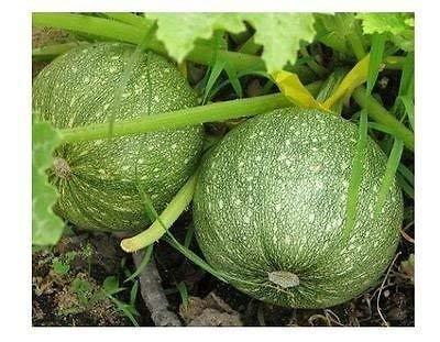 Courgette ronde Squash Jardin d'été unique Casserole Gourd, 20 graines