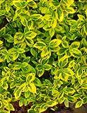 Kletter-Spindelstrauch 'Emerald'n Gold' 1l