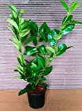 10 Kirschlorbeer Pflanzen, Höhe: 60-70 cm ab Topf, Prunus laurocerasus Rotundifolia