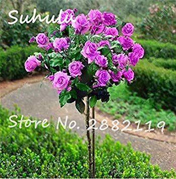 Vistaric 50 pcs Rare Belle Romantique Rose Rose Rose Graines De Fleurs De Maison Décoration Murale et Fête/Décoration De Mariage bricolage Maison Jardin Des Plantes 6