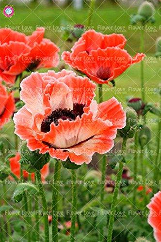 100PCS rares Graines de pavot bleu de l'Himalaya belles graines vivaces fleurs Nouveau style papillon attrayant pour jardin plante 4