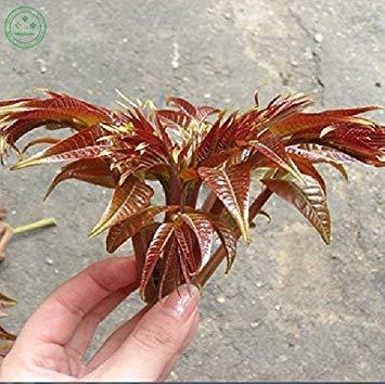 SANHOC Samen-Paket: seltene Toon Samen Mahagoni oder rote Zeder - toona essbaren Samen 30 Stück f43