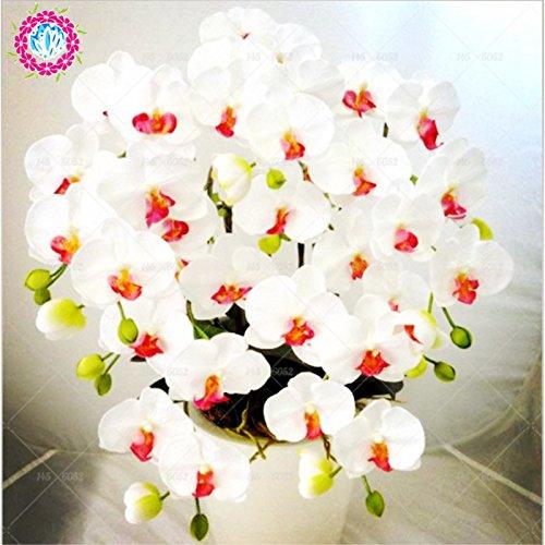 Semillas de flores de orquídeas 100PCS-semilla para las semillas de orquídeas Phalaenopsis jardín de casa-comprar directo de China-orquidea 1 Semilla