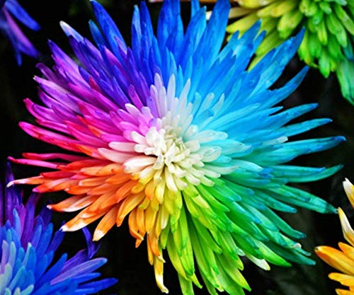 100 STÜCK Regenbogen Chrysantheme Blumensamen, Zier Bonsai, seltene Farbe, neue Wählen Sie Mehr Chrysantheme Samen Garten Blume Pflanze