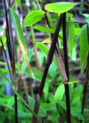 Bambussamen Mischung Mix - 4 winterharte Sorten - 60 Samen