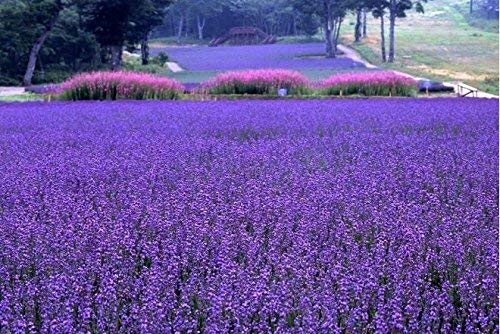 Perenni Semi di fiori di lavanda, semi Pacchetto originale 25pcs di fiori