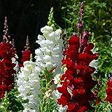 3000 semi di cimelio di alta qualità - Bellissimi e luminosi e aggiungono colore al tuo giardino di casa! - Antirrhinum majus - Massima qualità, semi di varietà antiche non OGM;