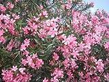oleandronerium oleander fiore di vari colori in vaso 9x9 cm