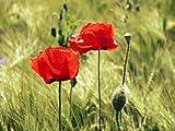 Zopix Wandposter Mohn Mohnblume Getreide Fotoposter