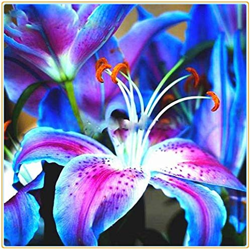 Lilium asiaticum/Magische blaue Blüten, blühende, üppig schöne Stängel und Blätter, sommerblühende Pflanzen (kernlose) Lilien-4zwiebeln
