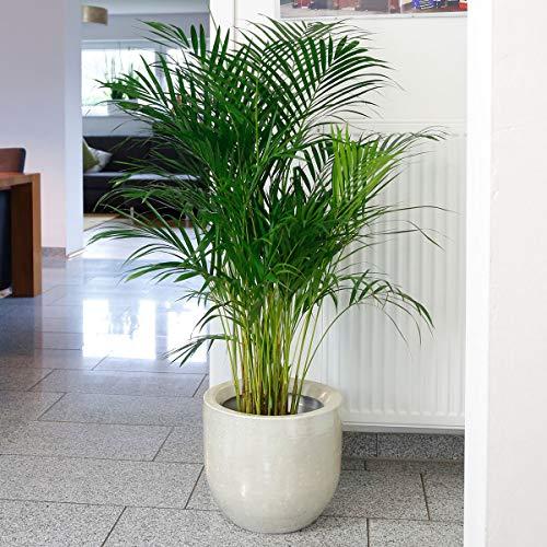 Qulista Samenhaus - Rarität 5pcs Exot Goldfruchtpalme Zimmerpflanzen Pflegeleicht Blumensamen winterhart mehrjärhig