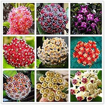 Vistaric Graines de hoya rares couleurs mélangées Graines de fleurs Graines de fleurs d'orchidée 200pcs / pack Croissance naturelle Graines de bonsaï pour la maison et le jardin