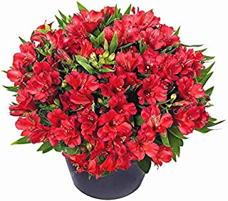 Flower Plant - Rare 16 Different Colors of The Peruvian Lily Bonsai Home Garden Flowers Potted Alstroemeria 100 Pcs/Bag (It is Seed not Plant) - by Abuldahi